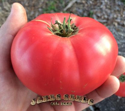 Beauty tomato
