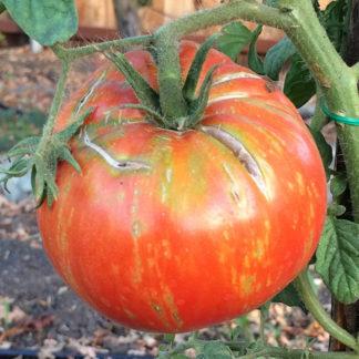solar flare tomato
