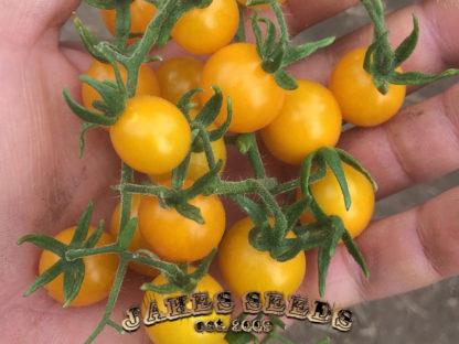 Galapagos Island Cherry Tomato