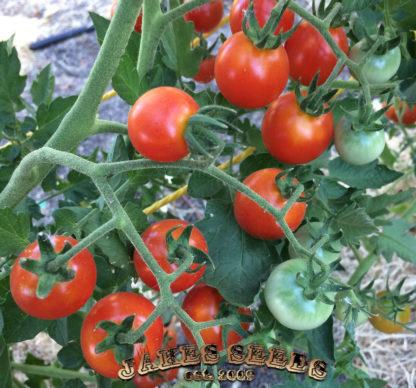 Peacevine Tomato Seeds